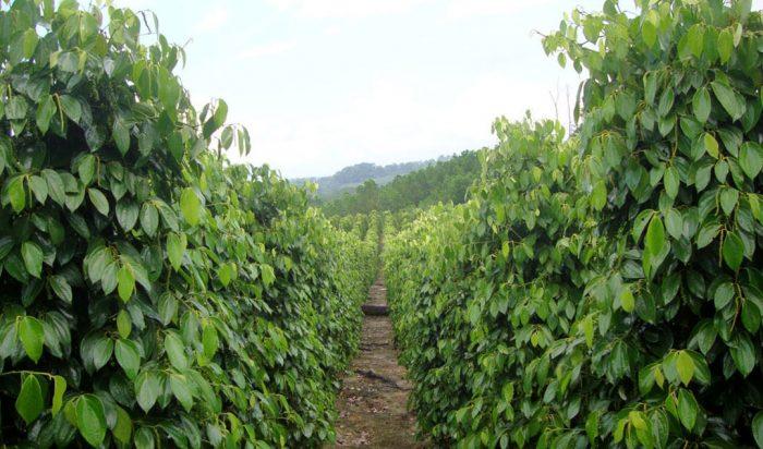 beyaz biber baharat plantasyonu
